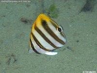 Ocellate Butterflyfish, Parachaetodon ocellatus