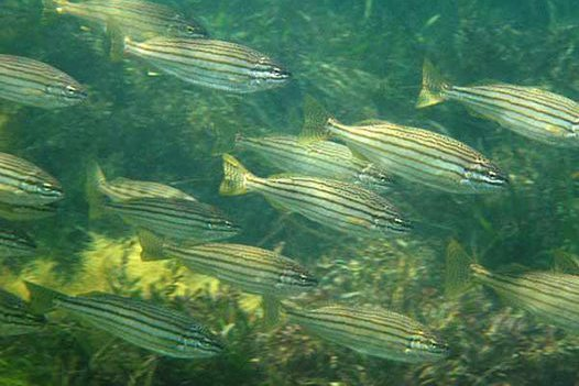 School of Western Striped Grunter
