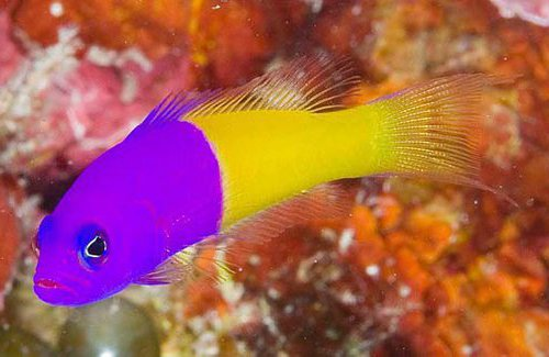 Royal Dottyback, Pictichromis paccagnellae