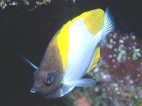 Pyramid Butterflyfish, <i>Hemitaurichthys polylepis</i>