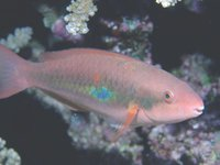Whitespot Parrotfish