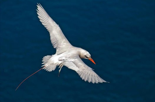 Red tailed tropic bird