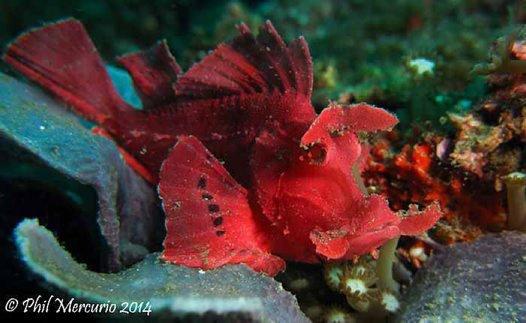 Eschmeyer's Scorpionfish