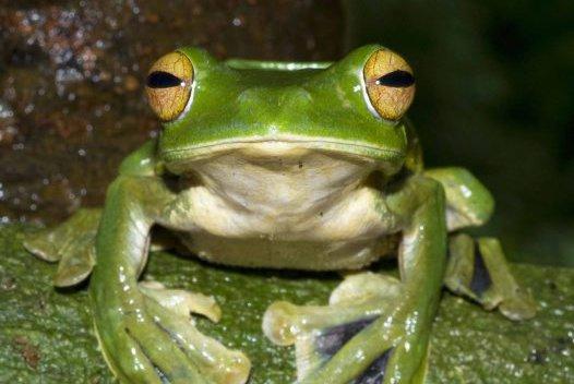 Helen's Flying Frog (Rhacophorus helenae)