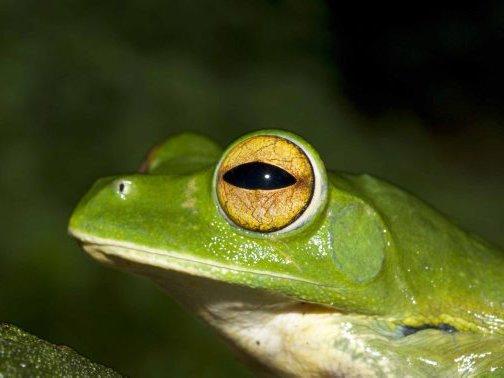 Helen's Flying Frog, Rhacophorus helenae