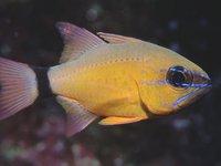 Ring-tail Cardinalfish, <i>Ostorhinchus aureus</i>