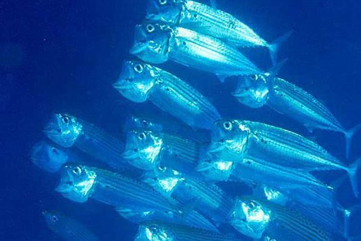 School of Mouth Mackerel