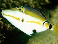 Halfmoon Triggerfish, Rhinecanthus lunula