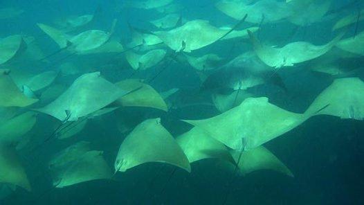 School of Australian Cownose Rays