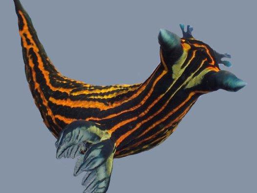 Nudibranch, Roboastra luteolineata