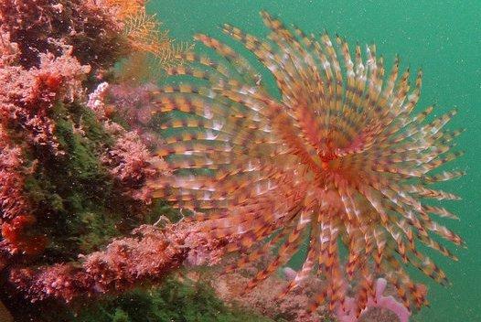 Mediterranean Fan Worm (Sabella spallanzanii)