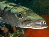 Great Barracuda, Sphyraena barracuda