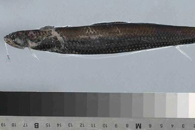 Boa Scaly Dragonfish, Stomias boa