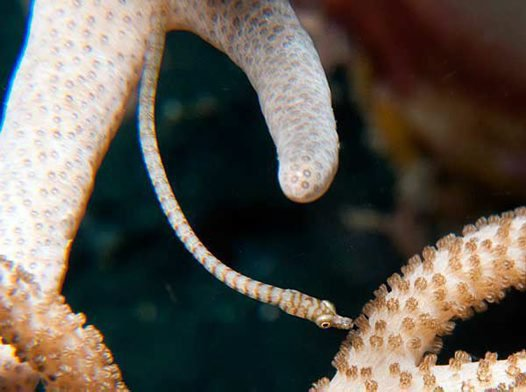Softcoral Pipefish, <i>Siokunichthys breviceps</i>