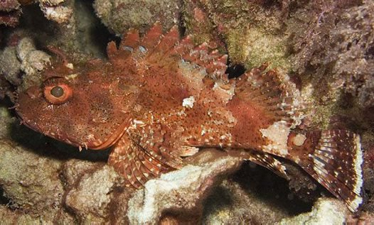 Cook's Scorpionfish, Scorpaena cardinalis