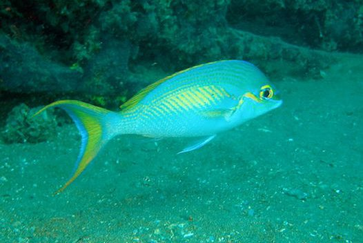 Rainbow Monocle Bream, Scolopsis monogramma