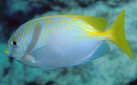Bluelined Rabbitfish