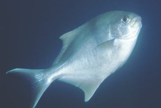 Sea Sweep, <i>Scorpis aequipinnis</i>