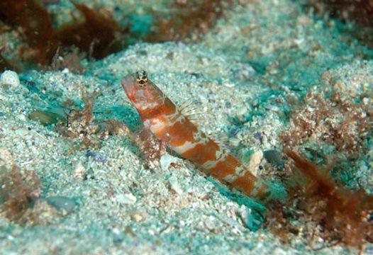 Broadbanded Shrimpgoby