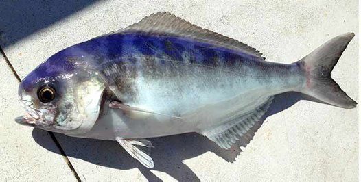 Ocean Blue-eye Trevalla, Schedophilus labyrinthicus