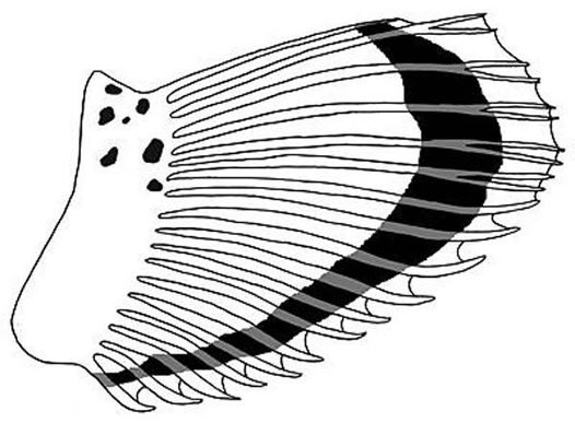 Pectoral fin of a Humpback Scorpionfish
