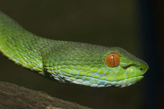 Ruby-eyed Green Pit Viper, Cryptelytrops rubeus