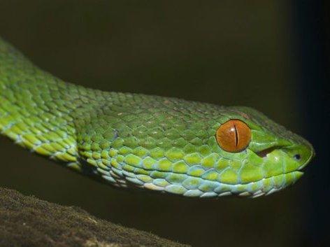 Ruby-eyed Green Pit Viper, Cryptelytrops rubeus
