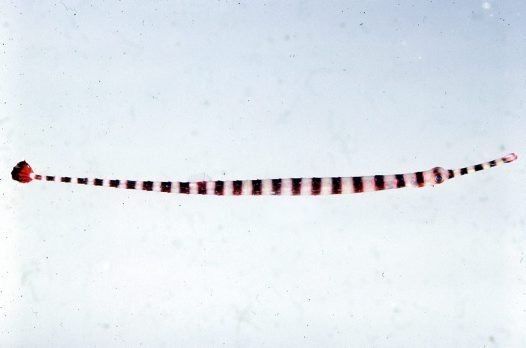 Banded Pipefish, Dunckerocampus dactyliophorus