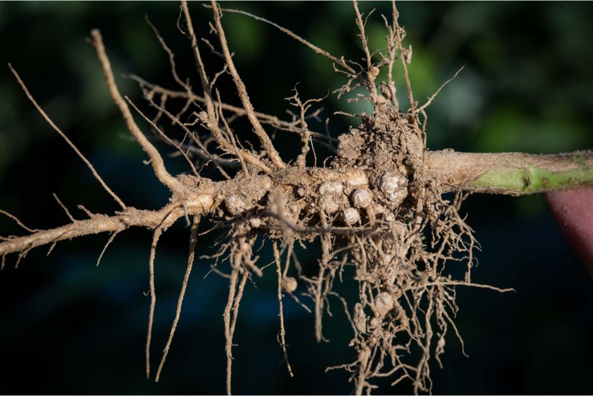 Nitrogen-fixing nodule on plant roots