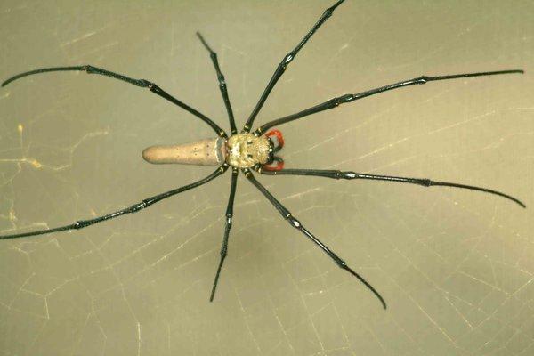 Tropical Golden-orb Spider