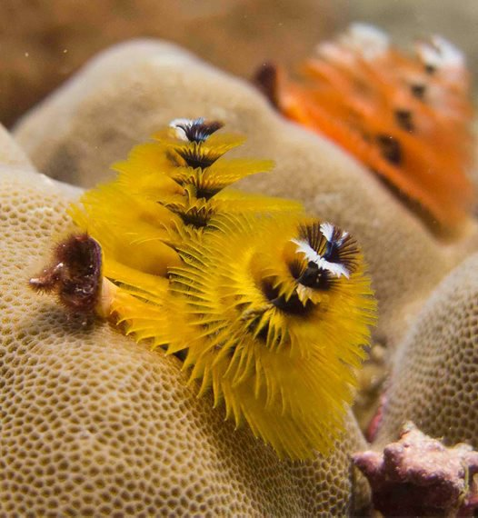 Yellow and orange colour morphs of Christmas tree worm (Spirobranchus corniculatus)