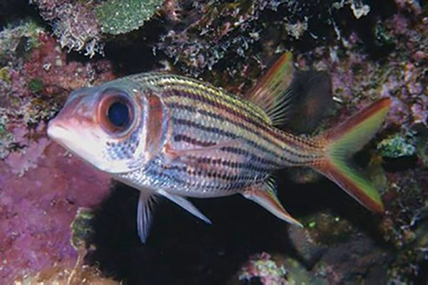 Slender Squirrelfish
