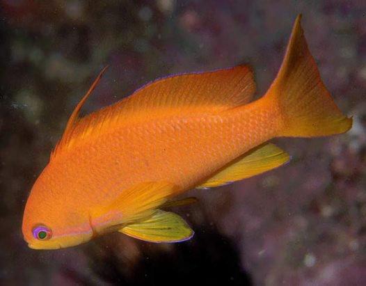 Orange Basslet