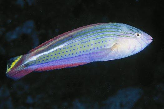Painted Rainbow Wrasse, Suezichthys arquatus