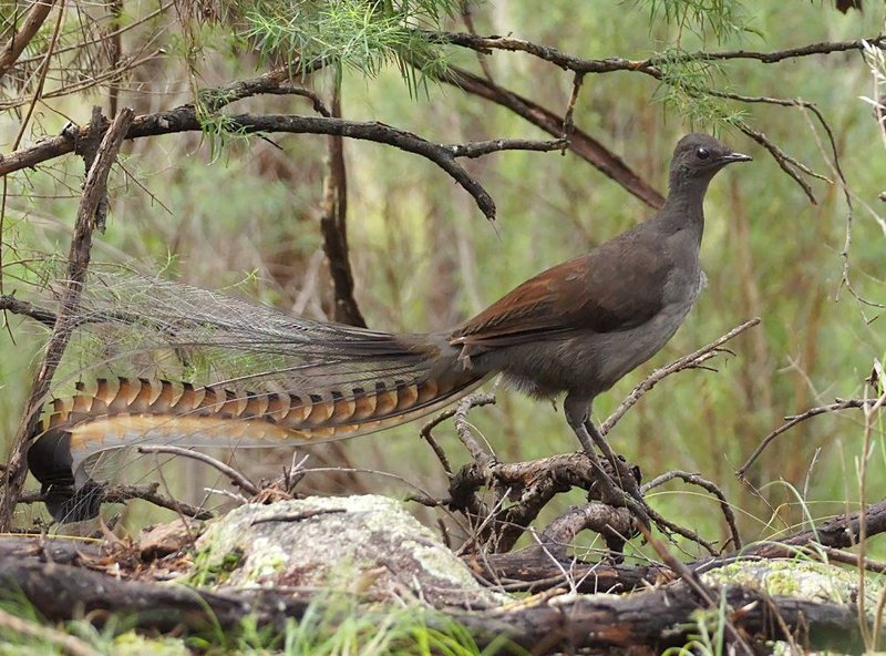 superb lyrebird the australian museum