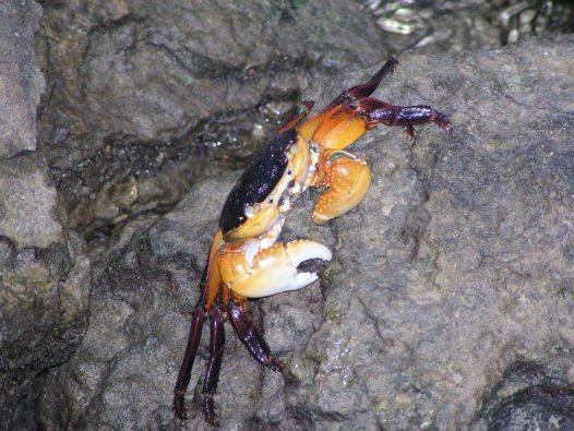 Swift-footed crab (yellow form)