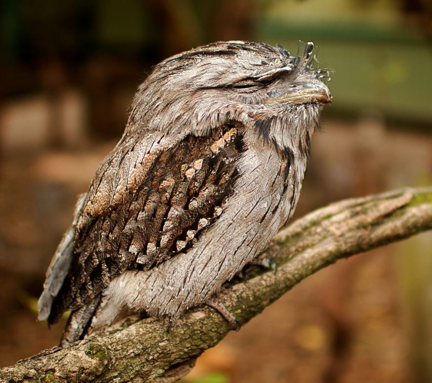 Tawny Frogmouth The Australian Museum