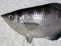 Sevenspot Archerfish, Toxotes chatareus