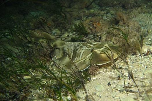 Southern Fiddler Ray, <i>Trygonorrhina dumerilii</i>