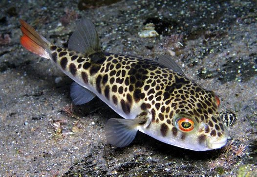 Smooth Toadfish