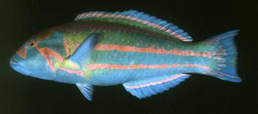 Surge Wrasse, Thalassoma purpureum