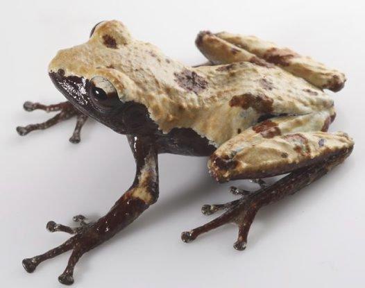 Cloaked Moss Frog Theloderma palliatum