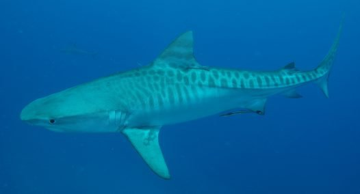 Tiger Shark, Galeocerdo cuveri