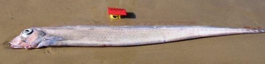 Southern Ribbonfish