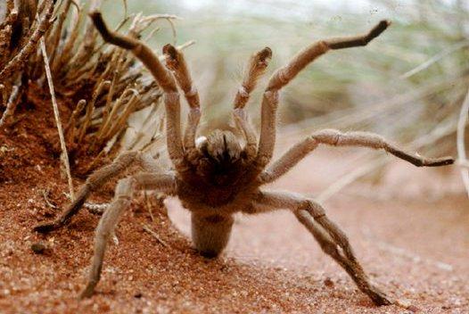 australian tarantula
