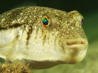 Weeping Toadfish, Torquigener pleurogramma