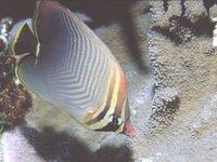 Triangular Butterflyfish