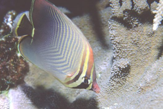 Triangular Butterflyfish