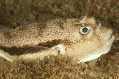Scalytail Toadfish, Torquigener squamicauda
