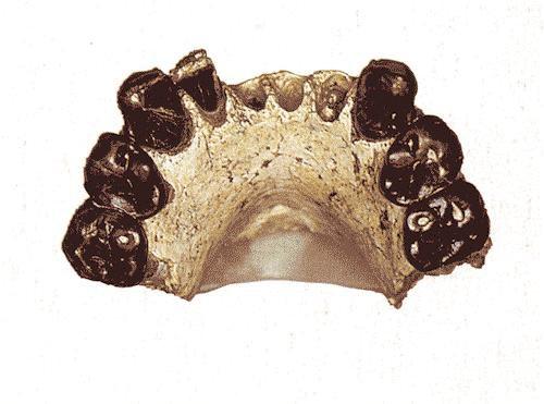 <i>Australopithecus bahreghazali</i> holotype mandible (KT-12/H1)